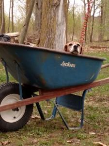 Beagle in a Wheelbarrow